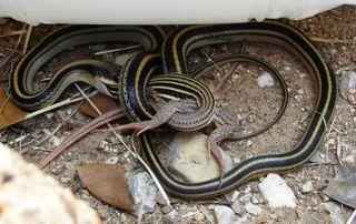 Snakefrog sm1008