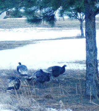 Turkeys 1208
