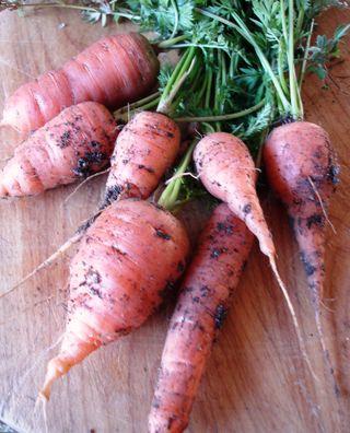 Carrots 0209