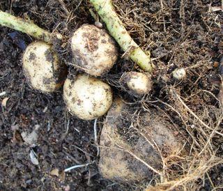 Potato crop 0509