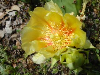 Prickly pear 0407