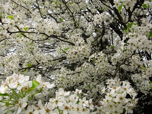 White-pear-flowers-bloom