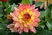 180px-Kwiat_Dalii