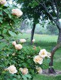 Rosesbackyard