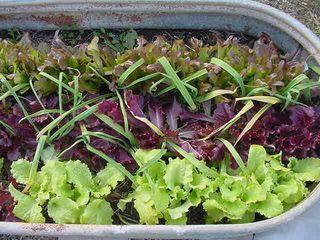 Lettuce1209