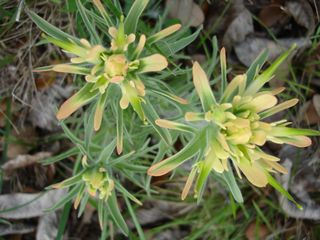 Paintbrush yellow 0307