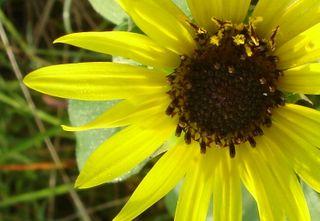 Sunflower2 0707
