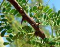 753px-Acacia_greggii_thorns