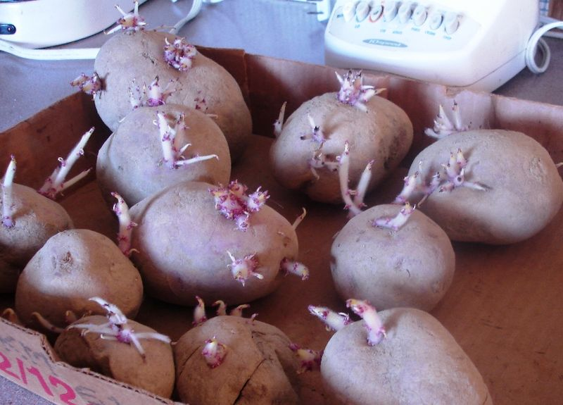 Seed potatoes 2.11