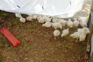 Chicks pen 06.19.11