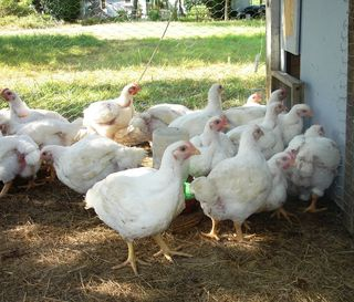 Chicks. 07.06