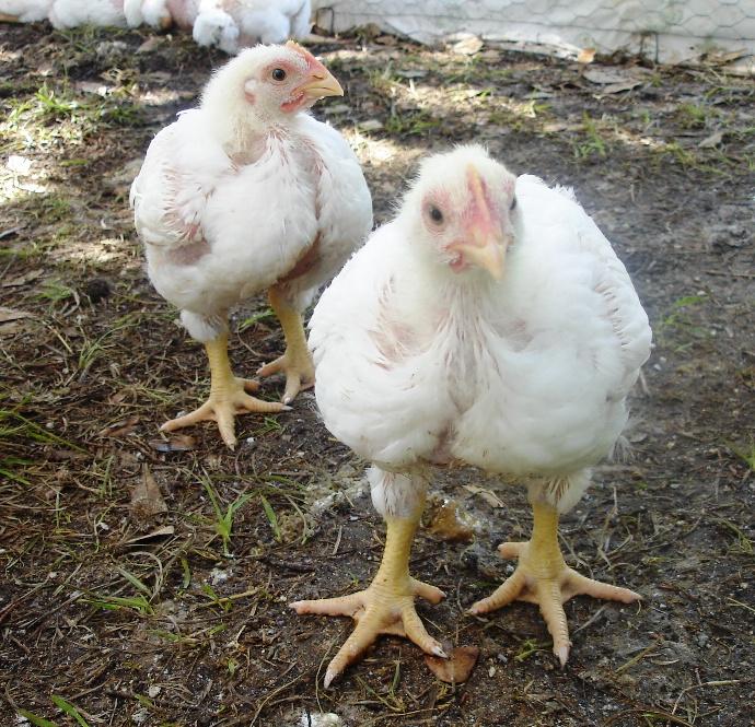 Chicks 06.28.11