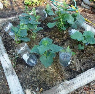 Cucumbers 0811