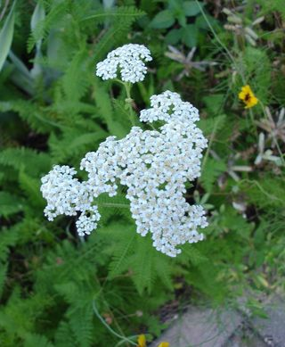 Lifescapes Yarrow In Bloom This Week