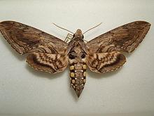 Hornworm moth