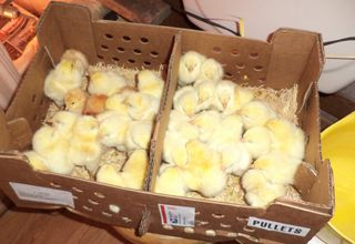 Chicks box