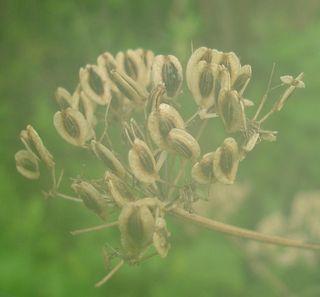Prairie parsley