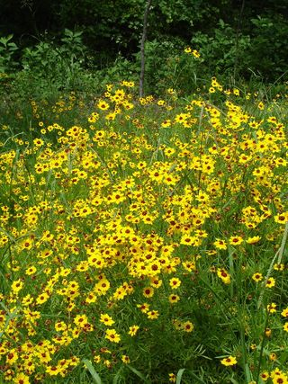 Coreopsis patch0607