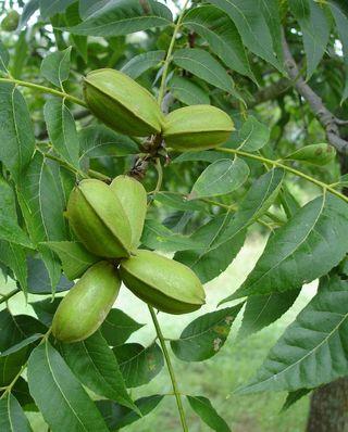 Nuts 072907