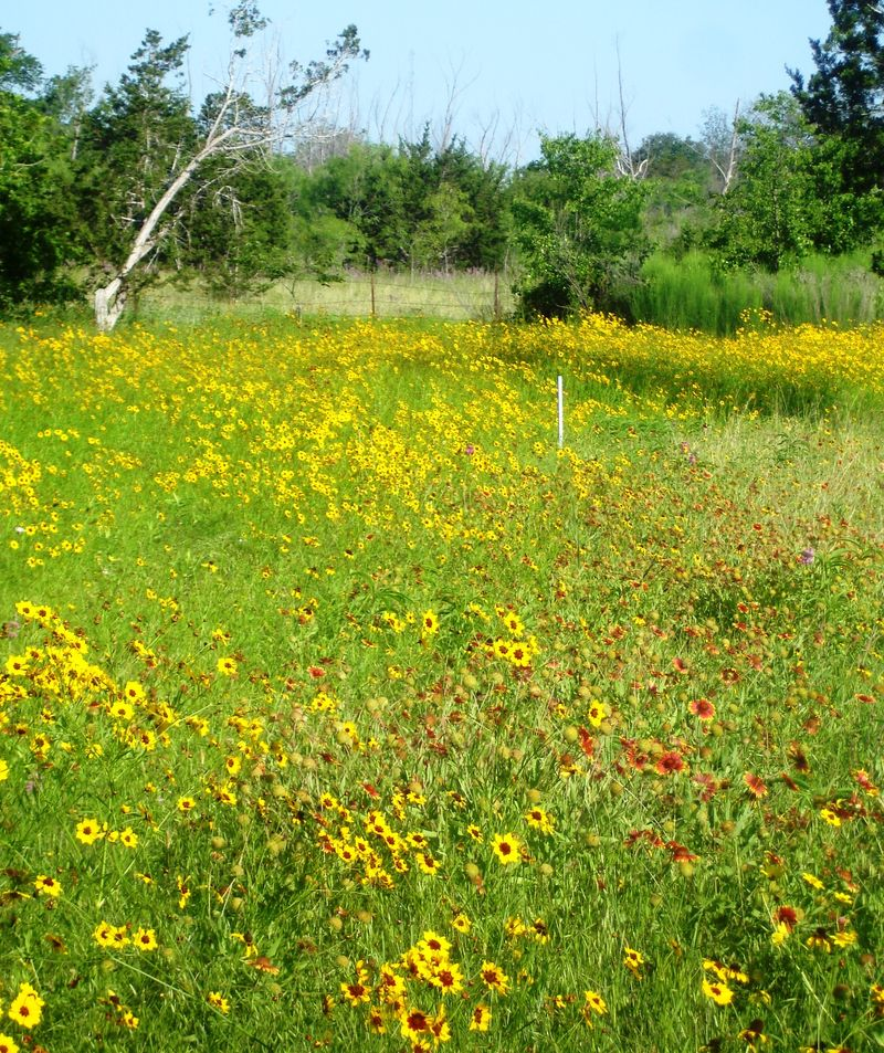 Coreopsis field 5.21