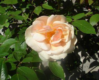 Deck rose 03.12
