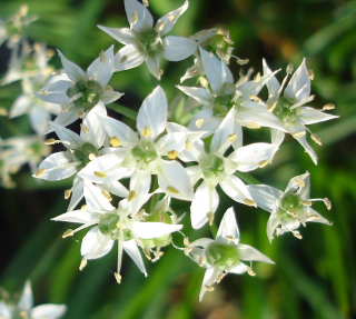 Garlic chives 0907
