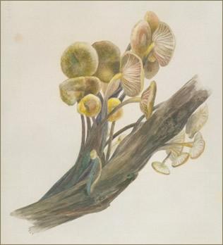 Potter lichen