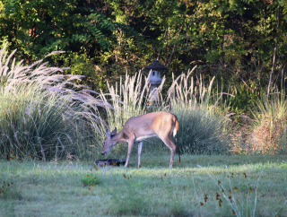 Deer10.05.17