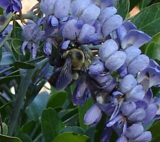 Mt laurel bee 0322