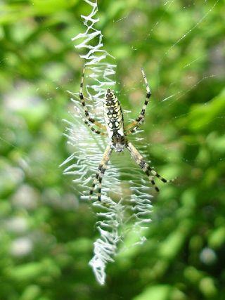 Orb spider 0607