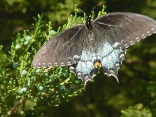 Tigerswallow2.0501