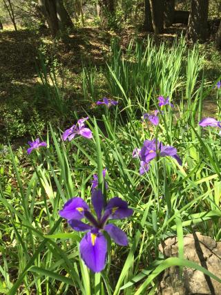 Louisiana iris 3.31.17