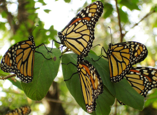 Monarchs lg1008