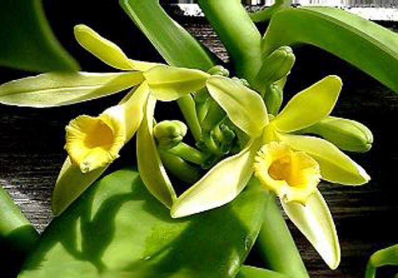 Vanilla_planifolia2