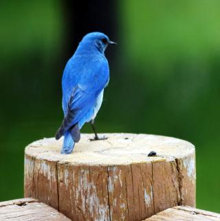 Bluebird061016
