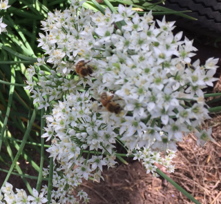 Garlic chives bee082918