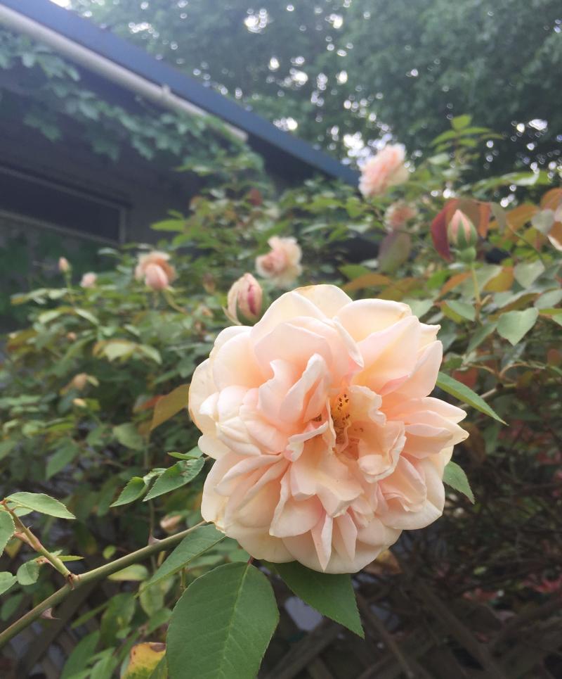 Rose431319