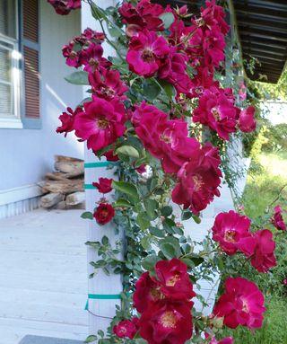 Rose5.1