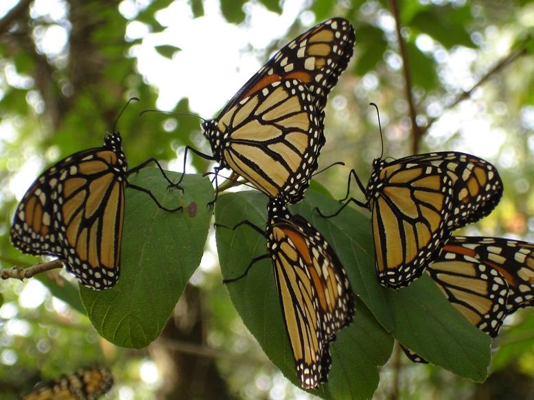 Monarchs 0908smaller