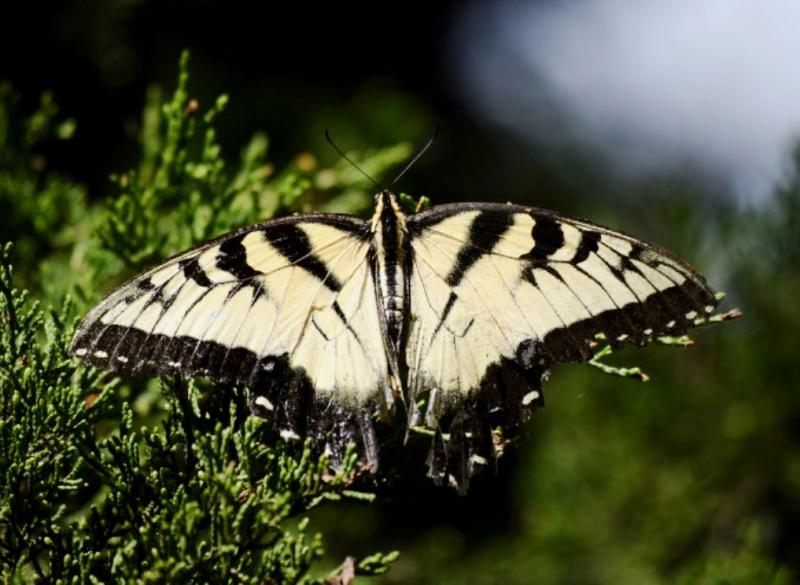 Tigerswallow10.16