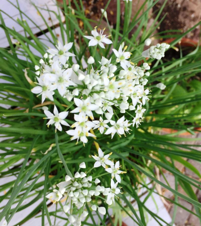 Garlic-chives-082318