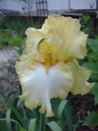 Yellow_iris_0407
