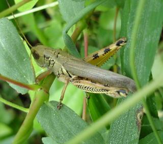 Grasshopper_0707