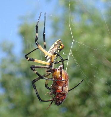 Spider_trim