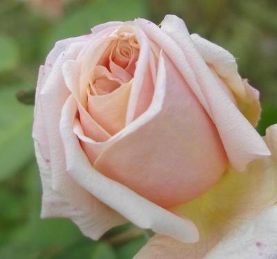 Pink_rose_0907_2