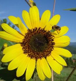Sunflower0808