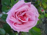 Pink_noisette1106