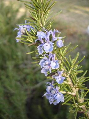 Rosemary0207