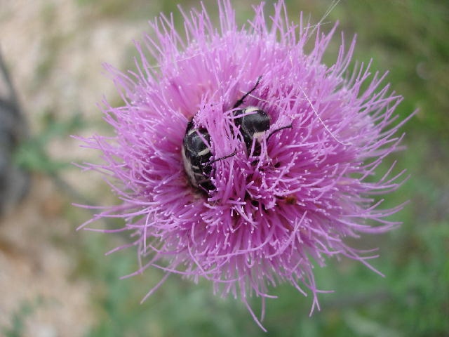 Thistle_bees_0407_2