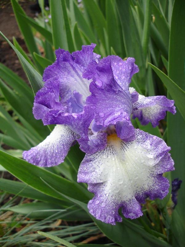 Purple_iris_0507